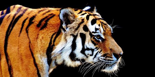 Slider - Tiger farbig
